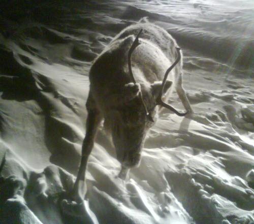 Frozen Caribou